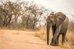 An Elephant walking on the road. Royalty Free Stock Image