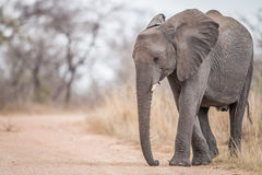 An Elephant walking on the road. Stock Photo