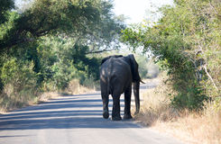 Elephant walking. Elephant in road at Kruger National Park Royalty Free Stock Images