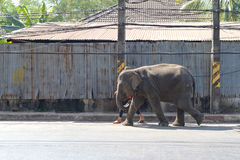 Elephant walking. In road town from north of thailand Stock Photo