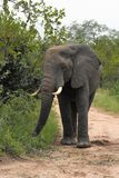 Elephant walking on safari road. Elephant walking on  the road, ears up Royalty Free Stock Photo