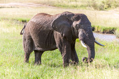 Elephant walking in the savanna Stock Photo