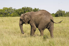 Elephant walking in the savannah. African elephant with a backdrop of grassland and bushes Royalty Free Stock Photography