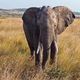 Elephant walking on the savannah Stock Image