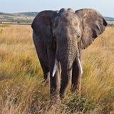 Elephant walking on the savannah. Masai Mara Game Reserve, Kenya Stock Image