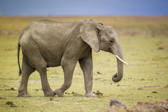 Elephant walking. In the savannah of Amboseli National Park in Kenya Stock Photography