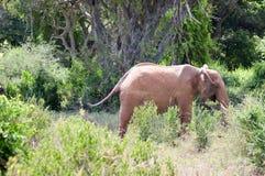 Elephant walking through. The savannah of Tsavo West Park in Kenya Stock Photo