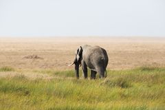Elephant walking in Sereangeti Stock Image