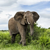 Elephant walking, Serengeti Stock Photo
