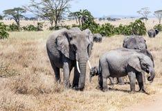 Elephant walking Stock Photography