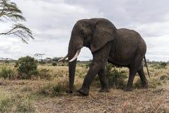 Elephant walking, Serengeti, Tanzania Royalty Free Stock Image