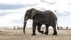 Elephant walking, Serengeti, Tanzania Royalty Free Stock Photography
