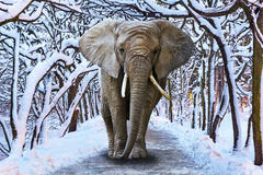 Elephant walking in snowy park. Scenery Stock Image
