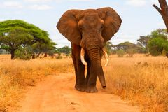 Elephant walking Stock Images