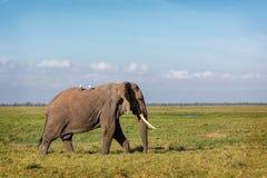 Free Elephant Walking Through Amboseli Field Stock Image - 150276761