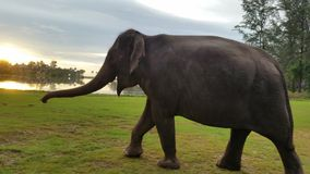 The elephant walking to his house Royalty Free Stock Photography