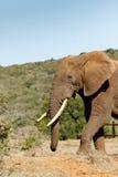 Elephant walking towards the bushes Stock Photos
