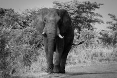 Elephant walking towards the camera in black and white in the Kruger National Park, South Africa. African Elephant walking towards the camera in black and white stock images