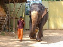 Elephant walking with trainer Stock Images