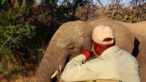 Elephant walking very close to a safari vehicle stock footage