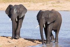 Elephant walking in water to have a drink and cool down on hot d Royalty Free Stock Photography