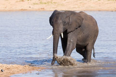 Elephant walking in water to have a drink and cool down on hot d Royalty Free Stock Image