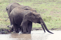 Elephant walking in water to have a drink and cool down on hot d Royalty Free Stock Photos