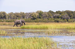 Elephant in water with waterlilies Stock Images