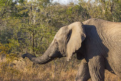 Elephant walking in the wild Royalty Free Stock Image