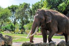 Elephant walking in zoo Stock Photo