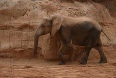 Elephant. Walking at the zoo in Valencia Royalty Free Stock Photo