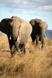 Elephant walks through the grass royalty free stock photo