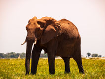 Elephant walks in the grass Stock Image