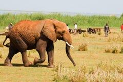 Elephant walks into a village Stock Photos