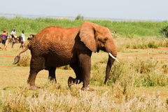 Elephant walks into a village Stock Images