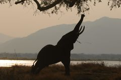 Elephant wandering in camp site stock photography