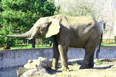 Elephant. In the Warsaw zoo Royalty Free Stock Image