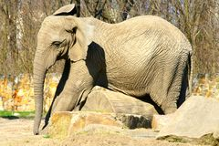 Elephant. In the Warsaw zoo Stock Photography