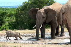 Elephant and warthog Stock Photography