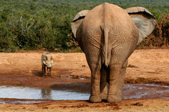 Elephant and Warthog at Watering hole. Elephant and Warthog stare down at the local watering hole Royalty Free Stock Image