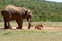 Elephant and warthogs drinking water Royalty Free Stock Photo