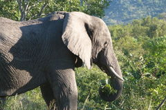 Elephant. This elephant was photographed  in the Kruger  National  Park . They need   to  eat  the  whole  day  to  sustain  their  colossal   bodies Stock Photo
