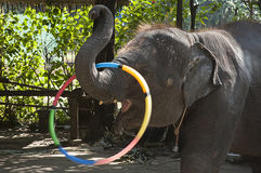 An elephant was Rotating the hoop Royalty Free Stock Images