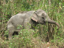 Elephant. This elephant was seen in Royal Manas National Park area on the way to Panbang royalty free stock photo
