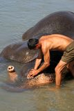Elephant washing. Elephant wash in a river near Chitwan National Park, Nepal stock photos