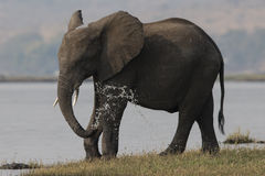 Elephant washing off with water Royalty Free Stock Image