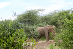 Elephant washing with sand. In a bush area a solitary elephant is throwing sand on itself. A little cloud of sand dust is visible Stock Images