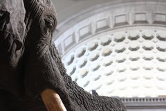 Elephant in the Washington Natural History Museum Royalty Free Stock Image