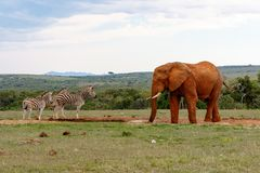 Elephant watching the zebras. At the watering hole Stock Images