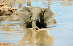 Elephant in water. An active African wet healthy young elephant head portrait with cute expression in the face playing in the water of a water hole in a game royalty free stock photo
